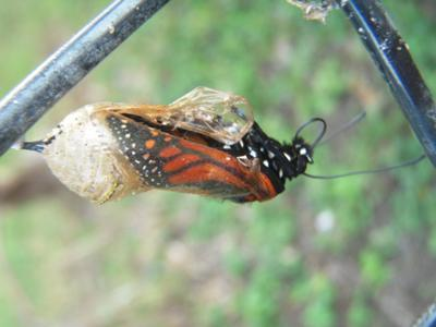 Milkweed Colour=Butterfly