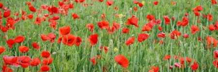 Homeschooling Unit Studies - World War II Poppies