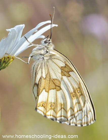 Raising a butterfly for homeschool science