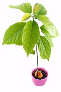 Plant Experiments - Avocado