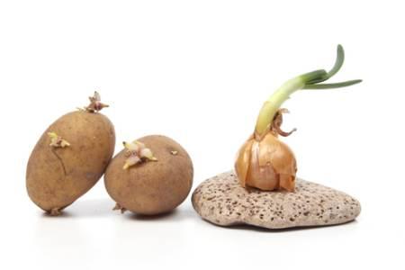 Plant Experiments - Potato and Onion