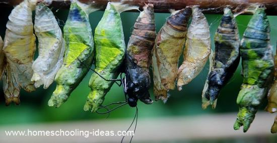Raising caterpillars for homeschool science.